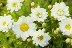 Many Chrysanthemum frutescens flowered on graden. Background royalty free stock photo
