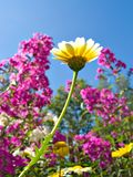 Chrysanthemum in garden Stock Images