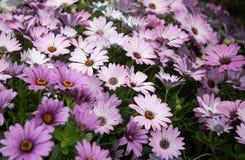 Chrysanthemum in garden Stock Photography