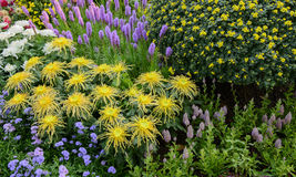 Chrysanthemum in garden Stock Images