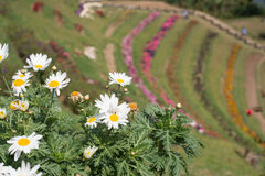Chrysanthemum garden in the mountains,Selective focus point. Thailand Royalty Free Stock Photos