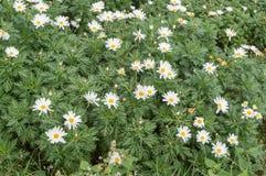 Chrysanthemum garden in the mountains,Selective focus point. Thailand Stock Photos
