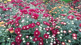 Chrysanthemum  /  Garden mums. Chrysanhtemum  sometimes called mums, or chysanths., Are perfect for mass plantings  these flowers come in many different  color Stock Photo