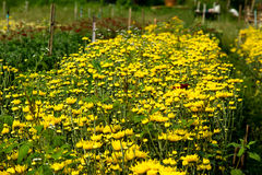 Chrysanthemum Garden. In tropical garden Stock Photo