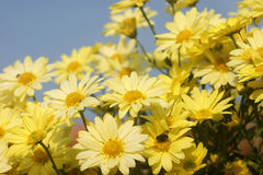 Chrysanthemum in the garden. Yellow chrysanthemums in the autumn sun Royalty Free Stock Image