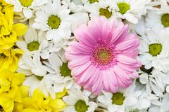 Chrysanthemum and gerbera Stock Photo