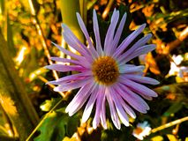 Chrysanthemum & x28;godavari& x29; royalty free stock photo
