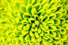 Chrysanthemum green flower closeup, abstract background Royalty Free Stock Photos