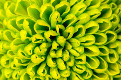 Chrysanthemum green flower closeup, abstract background stock images