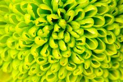 Chrysanthemum green flower closeup, abstract background stock photography