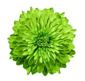 Chrysanthemum  green. Flower on  isolated  white background with clipping path without shadows. Close-up. For design. Nature Stock Image