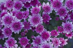 Chrysanthemum has beautiful pink and white fins. Flowers decorated with home and garden. Chrysanthemum has beautiful pink and white fins for Flowers decorated stock image