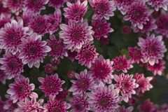 Chrysanthemum has beautiful pink and white fins. Flowers decorated with home and garden. Chrysanthemum has beautiful pink and white fins for Flowers decorated royalty free stock photography