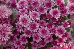 Chrysanthemum has beautiful pink and white fins. Flowers decorated with home and garden. Chrysanthemum has beautiful pink and white fins for Flowers decorated stock images