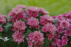 Chrysanthemum has beautiful pink and white fins. Flowers decorated with home and garden stock photography
