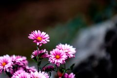 Blooming chrysanthemum royalty free stock photography