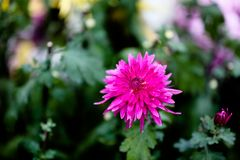 Blooming chrysanthemum. Chrysanthemum has its own characteristics, some beautiful and elegant, some bright and eye-catching, and some hold their heads high Royalty Free Stock Photos