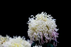 Blooming chrysanthemums. Chrysanthemum has its own characteristics, some beautiful and elegant, some dazzling, some high up. .. .. .. .. .. Chrysanthemum is Stock Images