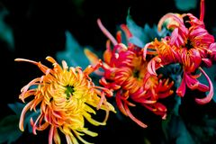 Blooming chrysanthemums. Chrysanthemum has its own characteristics, some beautiful and elegant, some dazzling, some high up. .. .. .. .. .. Chrysanthemum is Stock Photography