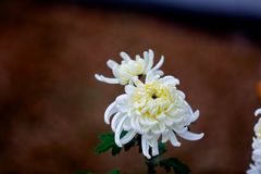 Blooming chrysanthemums. Chrysanthemum has its own characteristics, some beautiful and elegant, some dazzling, some high up. .. .. .. .. .. Chrysanthemum is Stock Image