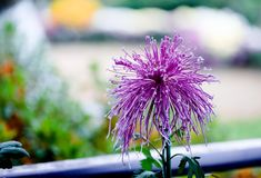 Blooming chrysanthemums. Chrysanthemum has its own characteristics, some beautiful and elegant, some dazzling, some high up. .. .. .. .. .. Chrysanthemum is Stock Photo