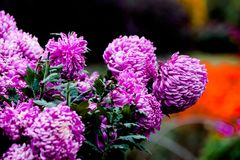 Blooming chrysanthemums. Chrysanthemum has its own characteristics, some beautiful and elegant, some dazzling, some high up. .. .. .. .. .. Chrysanthemum is Royalty Free Stock Photography