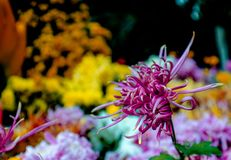 Chrysanthemum. Has some beautiful and elegant, some dazzlingly beautiful, some go with head high and chest out......  cream blooming in full bloom, colorful Royalty Free Stock Photography