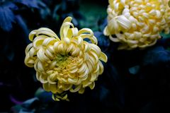 Chrysanthemum. Has some beautiful and elegant, some dazzlingly beautiful, some go with head high and chest out......  cream blooming in full bloom, colorful stock photos
