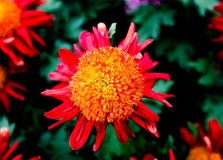 Chrysanthemum. Has some beautiful and elegant, some dazzlingly beautiful, some go with head high and chest out......  cream blooming in full bloom, colorful Stock Photo