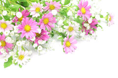 Chrysanthemum and haze grass. I took a chrysanthemum and haze grass in a white background Stock Image
