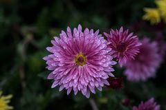 Chrysanthemum - herbaceous perennials and annuals of the family Royalty Free Stock Images