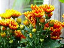 Chrysanthemum stock photos