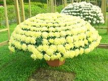 Chrysanthemum In Garden Royalty Free Stock Photo