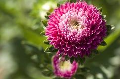 Chrysanthemum indicum (flowers) Royalty Free Stock Photos