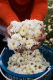 Chrysanthemum indicum Linn flowers herb. Chrysanthemum indicum Linn white flowers healthy herbs. Hands holding white flowers with orange cloth shirt Stock Photography