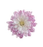 Chrysanthemum isolated Stock Photo
