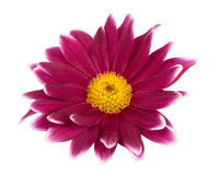 Chrysanthemum isolated Stock Image