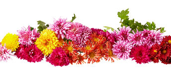 Chrysanthemum isolated on white Stock Photo