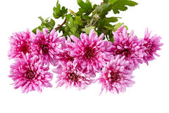 Chrysanthemum isolated on white Royalty Free Stock Images