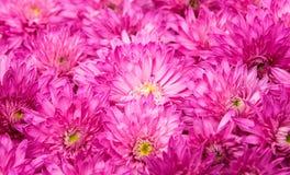 Chrysanthemum isolated Stock Image