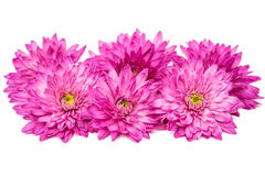 Chrysanthemum isolated Royalty Free Stock Images