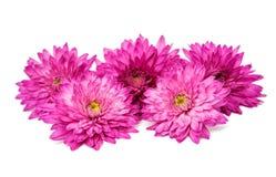 Chrysanthemum isolated Stock Photography