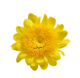 Chrysanthemum isolated on a white background Stock Photos