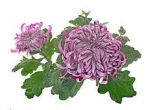 Chrysanthemum isolated on white Stock Photos