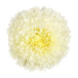 chrysanthemum isolerad white Arkivfoton