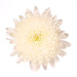 chrysanthemum isolerad white Royaltyfri Bild