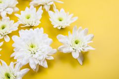 chrysanthemum isolerad white arkivbild