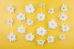 chrysanthemum isolerad white royaltyfria bilder