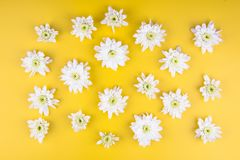 chrysanthemum isolerad white fotografering för bildbyråer
