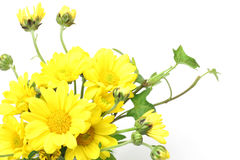 Chrysanthemum and ivy Royalty Free Stock Photography